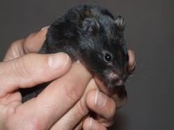 Tagada, rongeur Hamster