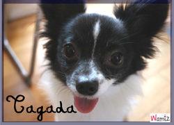 Tagada, chien Épagneul nain continental
