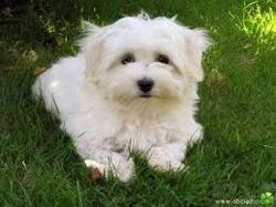 Tahiti, chien Bichon maltais