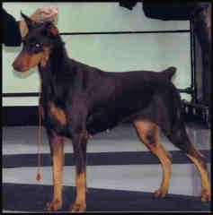 Tahoui'S Miss Coeur De L'Eden, chien Dobermann