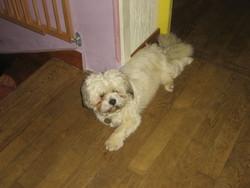 Taichi, chien Shih Tzu