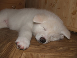 Taiga, chien Akita Inu