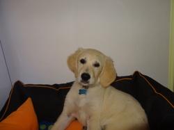 Taiga, chien Golden Retriever