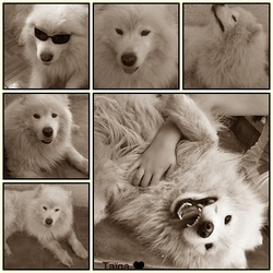 Taiga, chien Samoyède