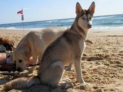 Taiga, chien Husky sibérien