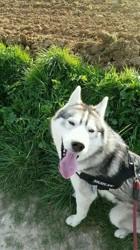Taigah, chien Husky sibérien