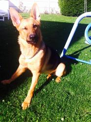 Taira, chien Berger allemand