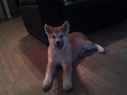 Taika, chien Akita Inu