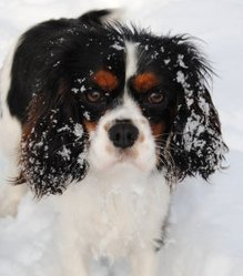 Taila, chien Cavalier King Charles Spaniel