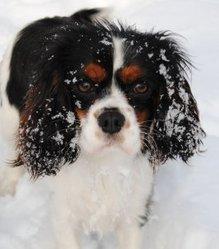 Taila, chien Cavalier King Charles Spaniel