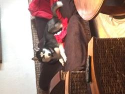 Tairo, chien Husky sibérien