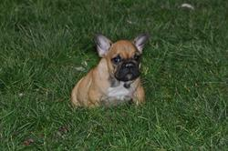 Tairo, chien Bouledogue français