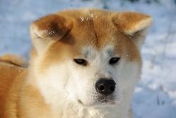 Taishi, chien Akita Inu