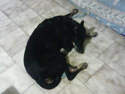 Taisie, chien Beauceron