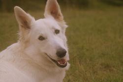 Takara, chien Berger blanc suisse