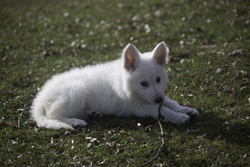 Tala, chien Berger blanc suisse