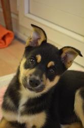 Talia, chien Husky sibérien