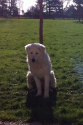 Talia, chien Berger de Maremme et des Abruzzes