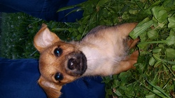 Talulla, chien