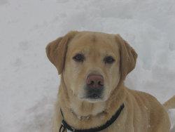 Talys, chien Labrador Retriever