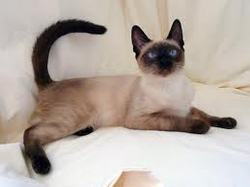 Tamagia, chat Siamois