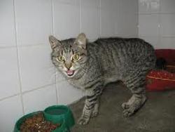 Tamagna Il, chat Selkirk Rex