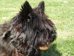 Tamia, chien Cairn Terrier