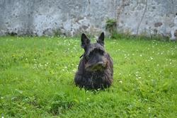 Tamia, chien Scottish Terrier