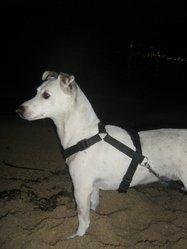 Tammie, chien Jack Russell Terrier