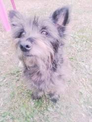 Tampy, chien Cairn Terrier