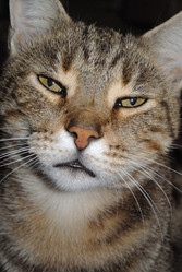 Tancrède, chat Européen