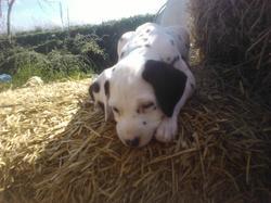 Tango, chien Dalmatien