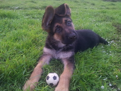 Tango, chien Berger allemand
