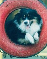 Tango, chien Berger australien