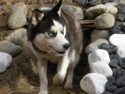 Tango, chien Husky sibérien