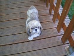 Tango, chien Shih Tzu