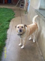 Tango, chien Golden Retriever