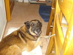Tangua, chien Berger belge