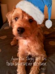 Tanguy, chien Yorkshire Terrier