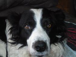 Tanguy, chien Border Collie