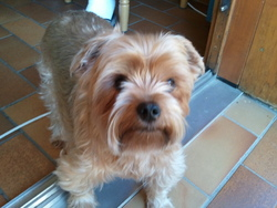 Tanguy, chien Yorkshire Terrier