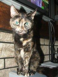 Tania, chat Gouttière