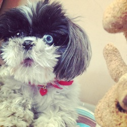 Tania, chien Shih Tzu