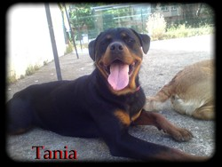 Tania, chien Rottweiler