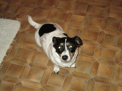 Tania, chien Jack Russell Terrier