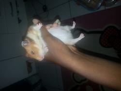 Tania , rongeur Hamster