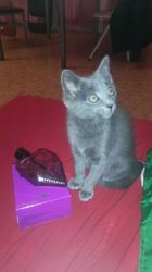 Tania, chat Chartreux