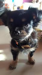 Tania, chien Chihuahua