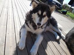 Tanka, chien Malamute de l'Alaska