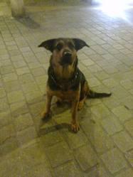 Tanya, chien Beauceron